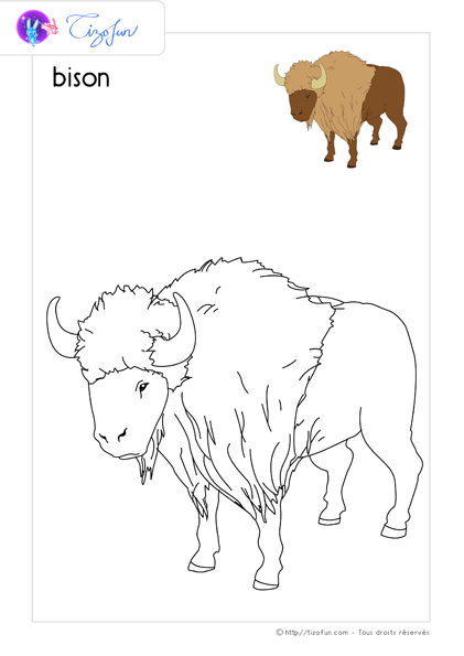 coloriage-animaux-sauvages-dessin-bison